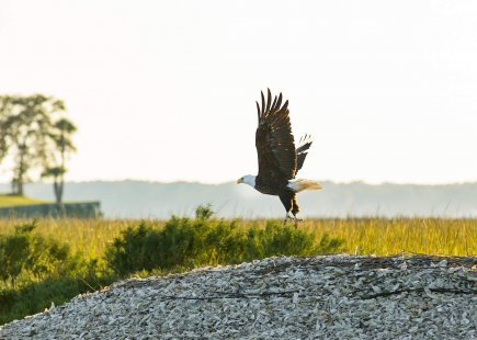 an eagle soars above the tall grasses of the low country