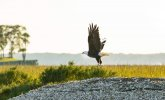 eagle sores above water over grasslands